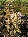 Pedicularis hirsuta upernavik 2009-07-07 2.jpg