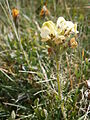 Pedicularis tuberosa 02.JPG