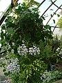 Pelargonium echinatum (BG Zurich)-03.JPG