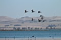 Pelicans and Wind Towers (24839580585).jpg