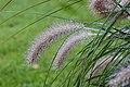 Pennisetum alopecuroides (Lampenpoetsersgras) 02.JPG