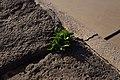 Pequeña planta en el Castillo de San Gabriel.jpg