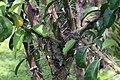 Pereskia grandifolia 32zz.jpg