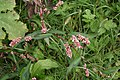 Persicaria maculosa ENBLA08.jpeg