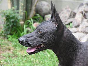 Peruvian Hairless Dog - Face typical Peruvian Hairless Dog