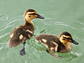 Petits canards (3207283614).jpg