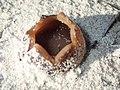 Peziza ammophila Betty's Bay 03.jpg
