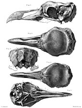 Skulls of a male and female solitaire in several views