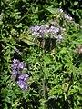 Phacelia tanacetifolia 13062009.JPG