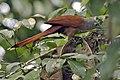 Phaenicophaeus chlorophaeus (cropped).jpg