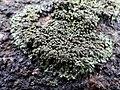 Phaeophyscia orbicularis 107170111.jpg