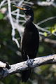 Phalacrocorax brasilianus Crooked Tree 02.JPG