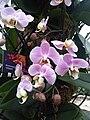 Phalaenopsis cultivars - kew 1.jpg
