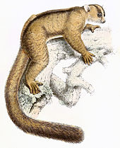 Illustration of a fork-marked lemur positioned horizontally on a branch.