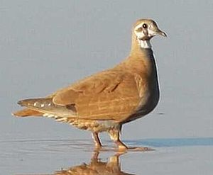 Flock bronzewing - Image: Phaps histrionica 1