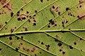 Phragmidium violaceum 101113928.jpg