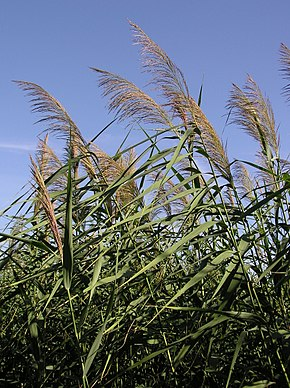 Description de l'image Phragmites australis (inflorescences).jpg.
