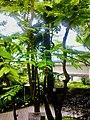 Phyllanthus acidus HK.jpg