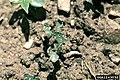 Phyllotreta cruciferae (04).jpg