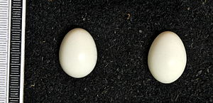 Eurasian three-toed woodpecker - Eggs, Collection Museum Wiesbaden