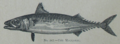 Picture Natural History - No 217 - The Mackarel.png