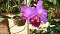 Picture Orchidaceae Collection II 15.JPG