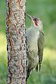 Picus viridis sharpei 057.jpg
