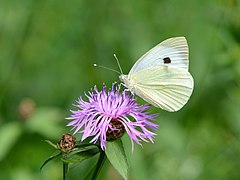 Pieris brassicae auf Centaurea jacea 01.jpg