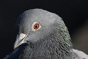 Close up Pigeon