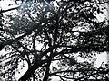 PikiWiki Israel 28854 Pine Tree.jpg