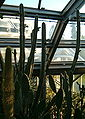 Pilosocereus catingicola HabitusFlowers BotGardBln0906b.jpg
