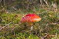 Pilz im Forst Rundshorn IMG Forst Rundshorn IMG 1753.jpg
