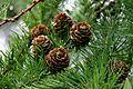 Pine tree, Jodrell Bank.jpg