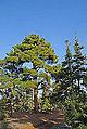 Pines in Mersin 03.jpg