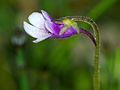 Pinguicula vulgaris subsp. bicolor 02.jpg