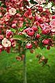 Pink Blossom Tree (4497984130).jpg