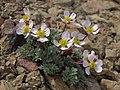 Pink buttercup, Beckwithia andersonii (=Ranunculus andersonii) (30964656828).jpg