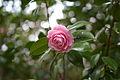 Pink camellia.jpg