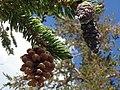 Pinus balfouriana austrina 2.jpg