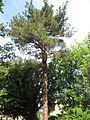 Pinus brutia 01 by Line1.jpg