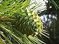 Pinus gerardiana India4.jpg