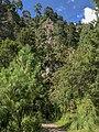 Pinus montezumae forest, Camino de la Montaña, Tlalmanalco, Mexico 1.jpg
