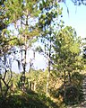 Pinus occidentalis Jarabacoa.jpg