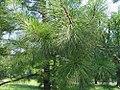 Pinus taeda 10zz.jpg