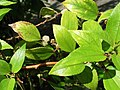 Pipturus albidis (5187737419).jpg