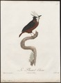 Pithys albifrons - 1805 - Print - Iconographia Zoologica - Special Collections University of Amsterdam - UBA01 IZ16400333.tif