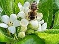 Pittosporum Toriba-Arbre des Hottentots-Apis mellifera-Abeille domestique-20210430.jpg