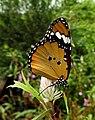 Plain Tiger Danaus chrysippus Female by Dr. Raju Kasambe DSCN9570 (10).jpg
