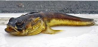 Midshipman fish - Plainfin midshipman (Porichthys notatus)