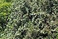 Platycladus orientalis Sieboldii cones.JPG